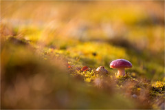 arctic autumn floor.......Svalbard/September (Brigitte Lorenz) Tags: autumn light mushroom tundra arctic floor