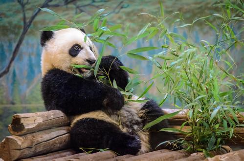 Panda @ Toronto Zoo