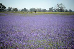 Purple Haze (Ptolemy the Cat) Tags: mauve purple field noxiousweeds blur patersonscurse landscape nikond600 nikonf355628300mmlens wilby victoria riverinabluebells
