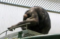 Pan troglodytes --  Chimpanzee 1225 (Tangled Bank) Tags: japan japanese asia asian asahiyama zoo zoological gardens hokkaido animal pan troglodytes chimpanzees 1212 ape primate