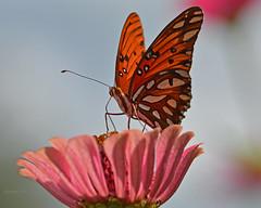 Gulf fritillary (justkim1106) Tags: butterfly insect flower zinnia nature