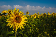 Sunflowers (de_frakke) Tags: zonnebloemen sunflowers linden geel yellow