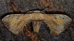 "Beautiful creation of nature...""Explored"" (chandra.nitin) Tags: animal deerpark insect macro moth nature newdelhi delhi india trilochavarians bombycidae silkmoth shiny"