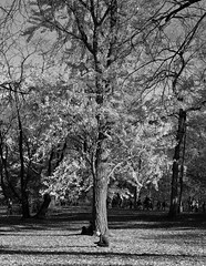 Sitting Pretty bw (Joe Josephs: 2,861,655 views - thank you) Tags: autumn centralpark fall fallcolor fallfoliage nyc newyorkcity travel travelphotography urbanparks landscape landscapephotography trees blackandwhitephotography blackandwhite cityparks