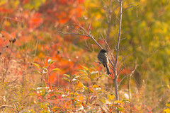 Eastern Phoebe (A Great Capture) Tags: flycatcher banded bird wooded areas agreatcapture agc wwwagreatcapturecom adjm toronto on ontario canada canadian photographer northamerica ash2276 ashleylduffus ald mobilejay jamesmitchell fall autumn automne herbst 2016 colours colors light sun sunny sunshine eos digital natur nature naturaleza natura vogel oiseau  madr uccello ptak pssaro  vtk fgel   outdoor outdoors vibrant colorful cheerful vivid bright woods leaves leaf foliage migrant
