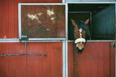 Ronja (~ Maria ~) Tags: horse siggestagrd ronja arabardenner stable 2016 mariakallinphotography nikond800