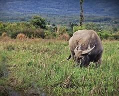 Kerbau (Hafid Wanala) Tags: desa highlands petani sawah jangkat sungaitenang merangin kototeguh