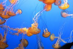 J20161104-0053—Chrysaora fuscescens—Monterey Bay Aquarium (John Rusk) Tags: taxonomy:kingdom=animalia animalia taxonomy:phylum=cnidaria cnidaria taxonomy:class=scyphozoa scyphozoa taxonomy:order=semaeostomeae semaeostomeae taxonomy:family=pelagiidae pelagiidae taxonomy:genus=chrysaora chrysaora taxonomy:species=fuscescens taxonomy:binomial=chrysaorafuscescens chrysaorafuscescens pacificseanettle taxonomy:common=pacificseanettle