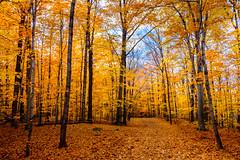 autumn (Tudor A. Parau) Tags: autumn leafs fall orange yellow path morgan arboretum forest park trees fuji xt10 t10 1855mm montreal the challenge game challengegamewinner
