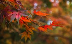 Orange Glow (Jacki Rosin) Tags: autumn acer japanese maple orange bokeh