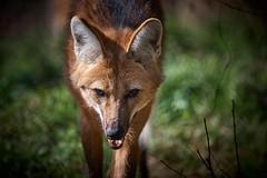 j'arrive petit casse-croûte (rondoudou87) Tags: loup wolf manedwolf loupàcrinière parc zoo reynou pentax k1 wildlife wild nature natur portrait face bokeh dof