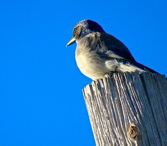 Welcoming the Afternoon Sun (morroelsie) Tags: scrubjay jay centralcoastbirds