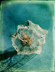 lacework (borealnz) Tags: capegooseberry seed delicate lace texture flyedges