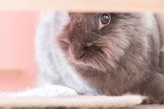 IMG_4085 (CornFee) Tags: rabbit pets 兔 寵物 動物