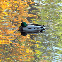 october duck (1) (kexi) Tags: warsaw poland square duck bird water reflection october 2015 orange green bemowo fortbema samsung wb690 instantfave waterfowl animal autumn
