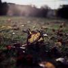 Fall -  Film Hasselblad (Photo Alan) Tags: hasselblad hasselblad500cm fall leaves dof depthoffield grass sunset sunshine film filmcamera filmscan film120 filmhasselblad 120 outdoor 6x6 vancouver canada