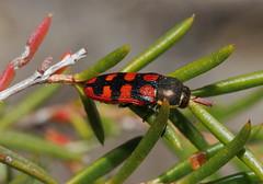 Jewel Beetle Nov16 (ron_n_beths pics) Tags: buprestidae perthbushlands jewelbeetles