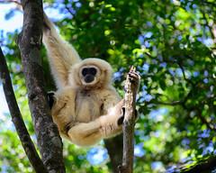 Gibbon (Ron Scubadiver's Wild Life) Tags: wildlife primate gibbon south africa nikon 70300 trees nature outdoor