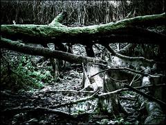 20161112-081-2 (sulamith.sallmann) Tags: landschaft natur pflanzen ast baumstamm düster finster landscape nature plants unheimlich äste brandenburg deutschland deu sulamithsallmann