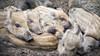 The Sleeping (Michael A64) Tags: sleeping sleep wildschwein boar animals tiere
