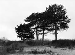 Niv Strand (holtelars) Tags: pentax 645 pentax645 645n 6x45 smcpentaxfa f28 120film 120 film foma fomapan fomapan100 fomapan100classic 100iso mediumformat analog analogue blackandwhite classicblackwhite bw monochrome filmforever ishootfilm filmphotography xtol jobo autolab atl1500 homeprocessing larsholte beach denmark danmark niv nivstrand trees dunes pines 75mm