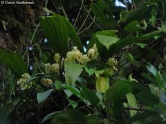 Enorme planta de Ida fimbriata floreciendo in situ durante una caminata que he guiado en el  Valle del Cauca, Colombia. Distribucin: Colombia, Ecuador, Per y Bolivia desde 1000 hasta 2800 m snm. (David Haelterman) Tags: orchid orchide orqudea orchideen lycaste ida sudamerlycaste lycastefimbriata idafimbriata sudamerlycastefimbriata colombia colombie kolumbien bolivie bolivia peru per prou equateur ecuador insitu valle cauca valledelcauca plante plant flower fleur flor erbre tree epiphyte epifta