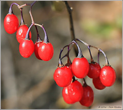 Red Berries (Taking pics, and eventually posting them!!!) Tags: 18135mmstm canon eos pspx9 paintshopprox9 nature canada ontario outdoors red berries efex