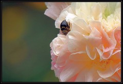 IMG_7186 Ma Vie en Pche 7-18-15 (arkansas traveler) Tags: beetle bugs bichos insects flowers pink rose telephoto zoom nature naturewatcher natureartphotography bokeh bokehlicious