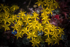 When the stars come out (view full screen!) (Anthony P26) Tags: bedfordshire category england flora luton places flower plant stars golden petals vignette closeup narrowdepthoffield depthoffield sigma105mmmacro macrodreams macro canon70d canon