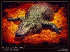 Big Fat Alligator Basking in Sun at St Augustine Florida (Captain Kimo) Tags: gator alligator photomontage staugustine highdynamicrange alligatorfarm photomatixpro tonemapping hdrphotography tetxure singleexposurehdr captainkimo