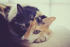 (gualizoe) Tags: cat zoe sleep tricolor gata angora dormir gualizoe