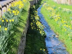 Daffodils at Helmsley - Yorkshire Moors (JauntyJane) Tags: stream helmsley daffodils northyorkshire yorkshiremoors ryedale yahoo:yourpictures=yourbestphotoof2012 yahoo:yourpictures=inbloom
