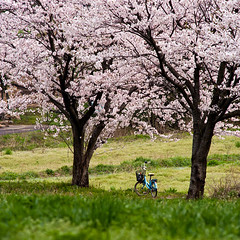Lonely bicycle (Out of Focus [sic]) Tags: tree bicycle japan cherry spring blossom sakura kotoura