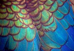 Duck Feathers..... (Deb Jones1) Tags: blue abstract macro bird nature beauty birds canon feathers feather flickrawards debjones1