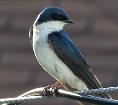 cabri12f14 Saskatchewan Tree Swallow (CanadaGood) Tags: blue white canada black color colour bird animal sk saskatchewan swallow ornithology birdwatching 2012 cabri canadagood thisdecade