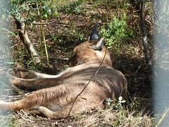 Caracal resting (Dunnock_D) Tags: africa cat fence southafrica wire lying caracal enclosure plettenbergbay tenikwa