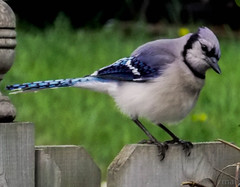 Blue Jay (mahar15) Tags: nature birds closeup jay wildlife bluejay backyardbirds