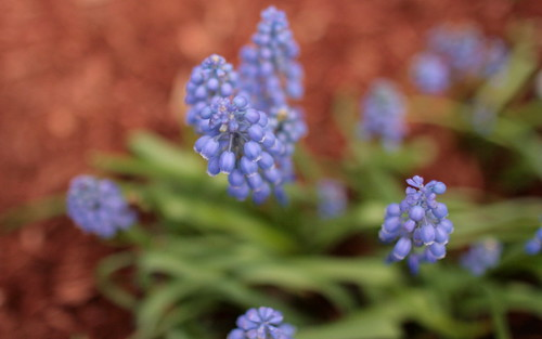 grape hyacinth and red mulch