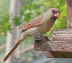 Female Cardinal (bjebie) Tags: ohio cardinal femalecardinal wildbird