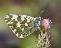 Grizzled Skipper (Voss-Nilsen) Tags: flowers plants plant flower macro nature animal animals closeup digital canon plante insect photography eos photo flickr foto natur insects 5d planter makro blomst insekt macroshot blomster sommerfugl dyr naturbilder nrbilde naturen insekter macroshots grizzledskipper digitalt pyrgus naturfoto 2013 sommerfugler naturbilde digitalfoto makrobilder makrobilde malvae nrbilder naturfotografi vossnilsen soumrankjahodnkov