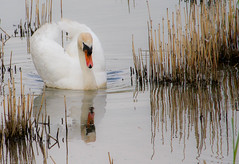 Reflected swan (judy dean) Tags: spring wildlife swans abbotsbury flowersplants 2013 naturethroughthelens
