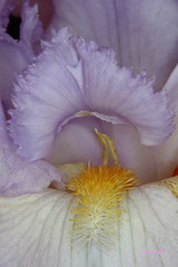 Bearded iris 'Rippling Waters' macro of the beard (jlcummins - Washington State) Tags: iris usa flower washington washingtonstate beardediris flowergarden