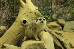 IMG_7444 (kassidycoleman) Tags: cute animal animals meerkat adorable kawaii