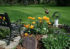 golden tulips (floating_stump) Tags: flowers wisconsin bench tulips mygarden grafton rebelxti