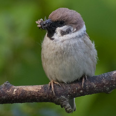 Tree Sparrow 20 (Bassman99) Tags: blackisle gardenbirds scottishwildlife