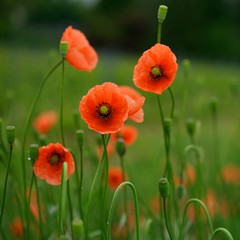 Vineyard Poppies (alphajoerg) Tags: leica macro r 60 elmarit