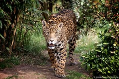 Jaguar (Brookshaw Photography) Tags: cat zoo bigcat jaguar chesterzoo