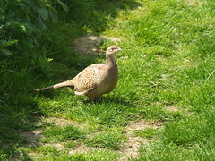 Pheasant at Grove Ferry, Kent, 19-5-13 (camelbirder) Tags: bird kent pheasant groveferry camelbirder