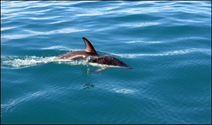 'Duskie' Dolphin (Mike Parfitt) Tags: coastal marinemamals