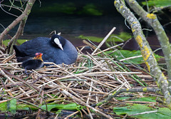"13-05-24 Isn't he ""coot"" (dailyshotz) Tags: nest chick coot"